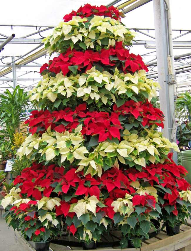 Poinsettia arranged into a Christmas tree